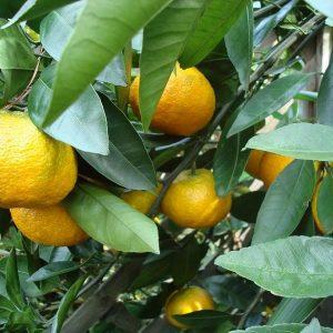 Citrus keraji