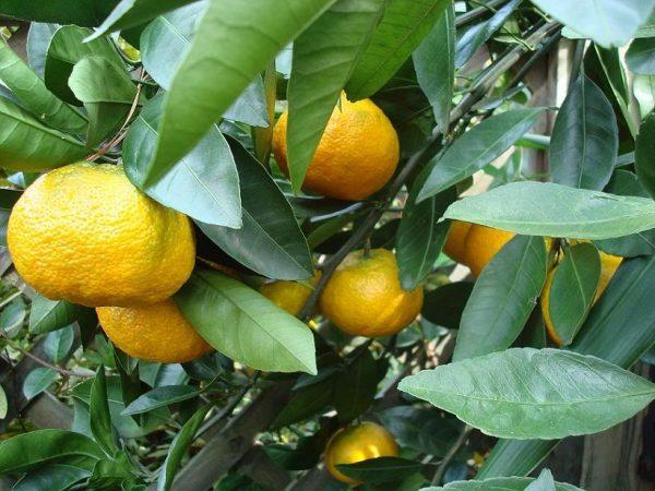 Citrus keraji (P17)