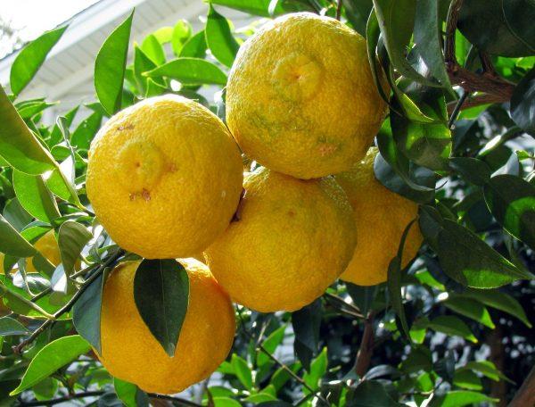Citrus x junos 'Yuzu'