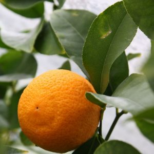 citrus x limon 'Volkamer'