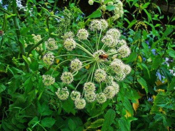 Angelica archangelica (P9)