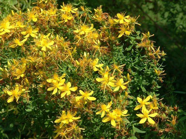 Hypericum perforatum (zaden)