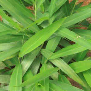 Alpinia galanga (P9)