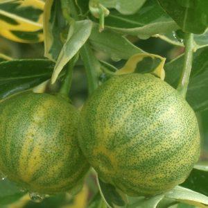Citrus x microcarpa 'Peters'