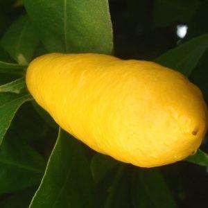 Citrus x floridana 'Tavares'