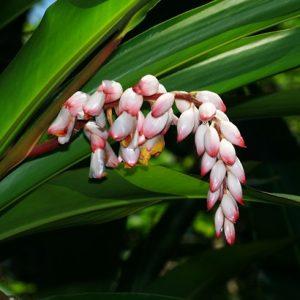 Alpinia zerumbet (P9)