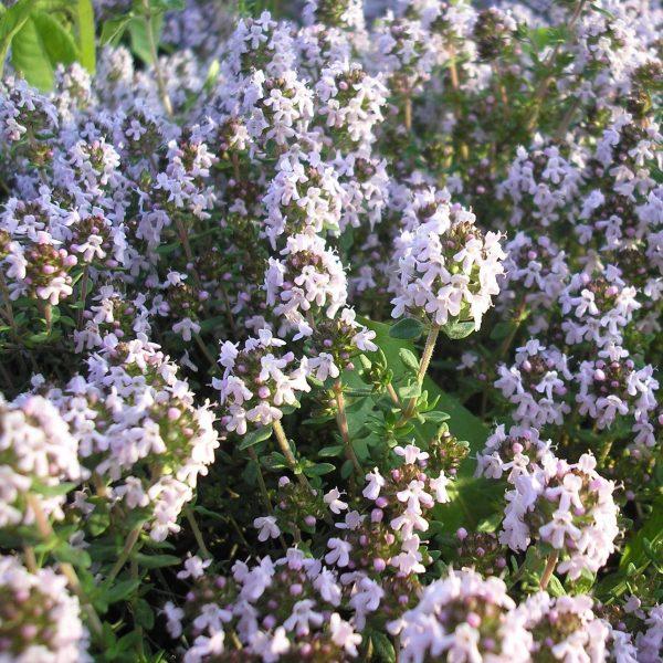 Thymus vulgaris compactus (P9)