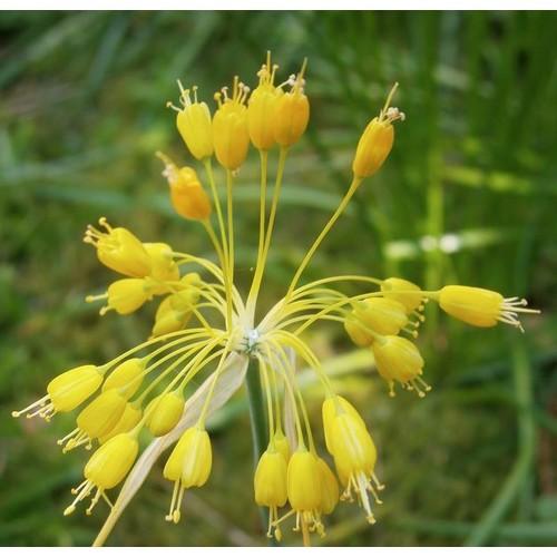 Allium flavum (P9)