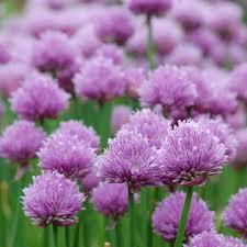 Allium schoenoprasum (P9)