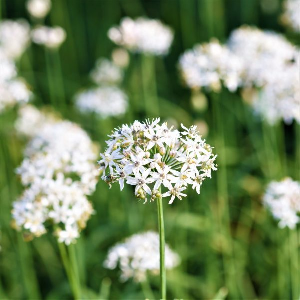Allium tuberosum (P9)