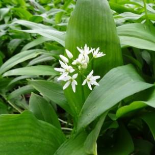 Allium ursinum (P9)