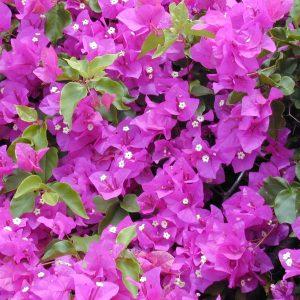 Bougainvillea glabra 'Sabina'
