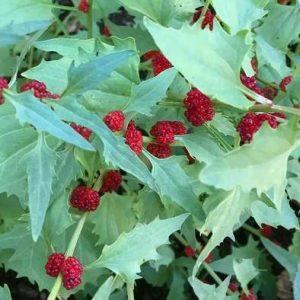 Chenopodium foliosum (zaden)