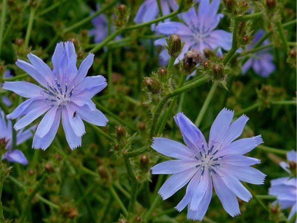 Cichorum intybus (zaden)