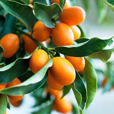 Citrus japonica 'Nagami'