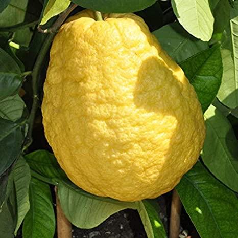Citrus medica 'Etrog'