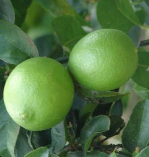 Citrus micrantha