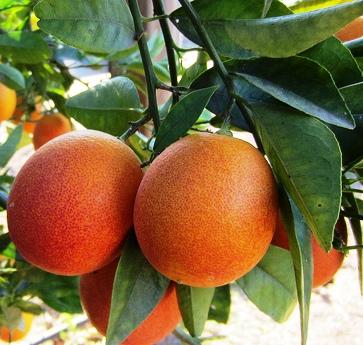 Citrus x sinensis 'Red Orange'