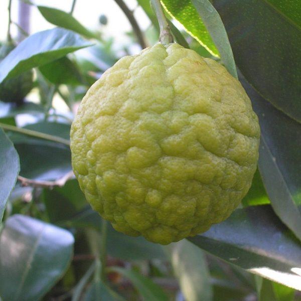 Citrus webberi