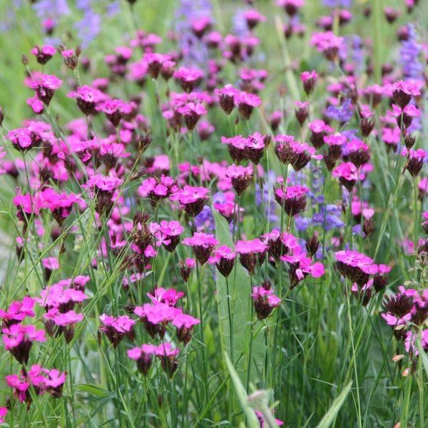Dianthus cartusianorum (P9)