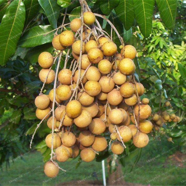 Dimocarpus longan (10 zaden)