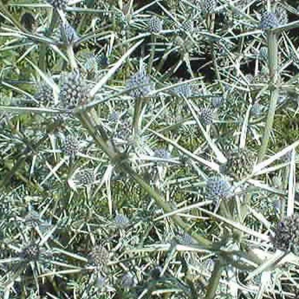 Eryngium variifolium