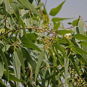 Eucalyptus citriodora (zaden)