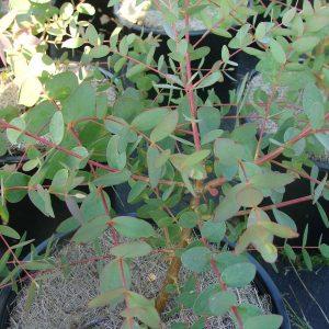 Eucalyptus parvifolia (p11)