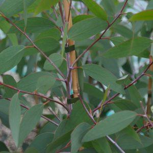 Eucalyptus niphophila (p11)