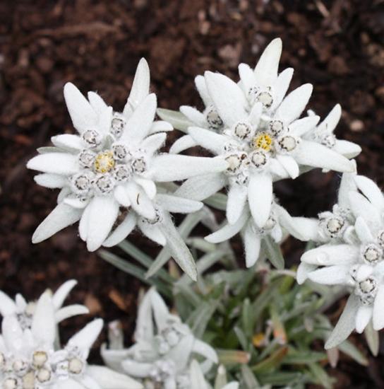 Leontopodium alpinum (zaden)