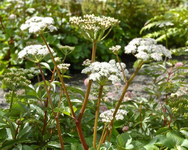 Ligusticum scoticum (P9)