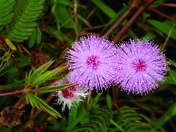 Mimosa pudica (zaden)