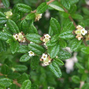 Nashia inaguensis