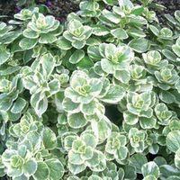 Plectranthus can. 'Variegata' (P9)