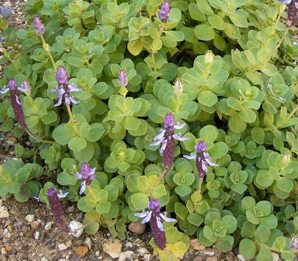 Plectranthus arabicus