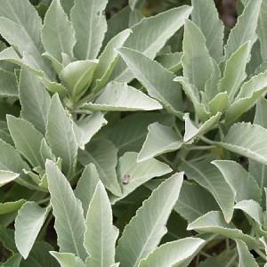 Salvia apiana (p9)