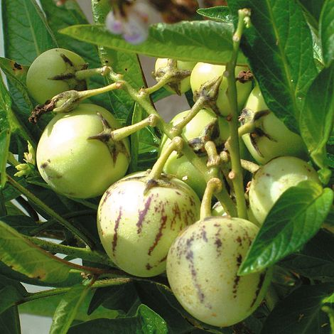 Solanum muricatum (zaden)