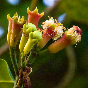 Syzygium aromaticum (P9)