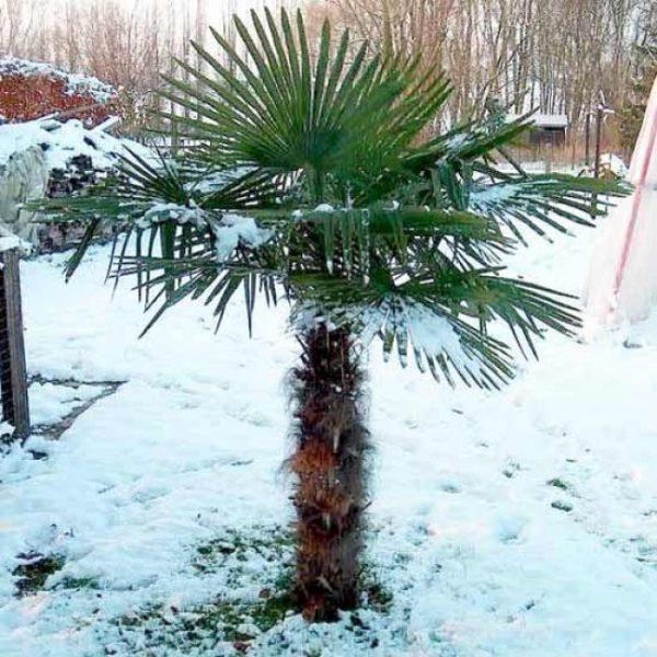 Trachycarpus fortunei (P15)