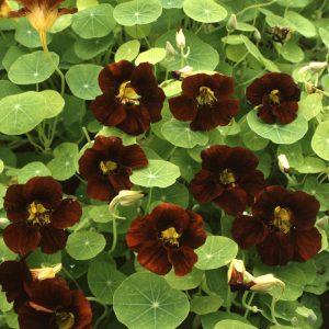 Tropaeolum 'Black Velvet' (zaden)