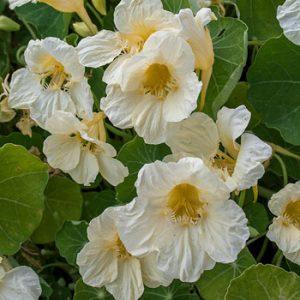 Tropeaeolum 'Milkmaid' (zaden)