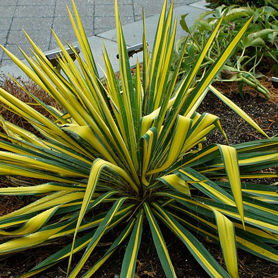 Yucca fil. 'Color Guard'
