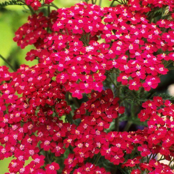 Achillea millefolium 'Cassis' (P9)