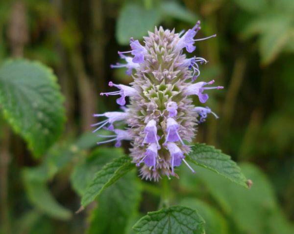 Agastache rugosa (P9)