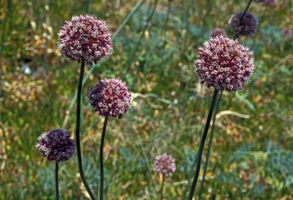 Allium ampeloprasum (P9)