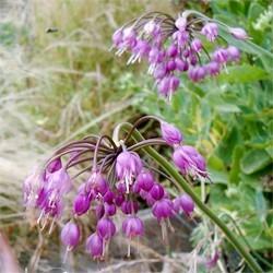 Allium cernuum (P9)