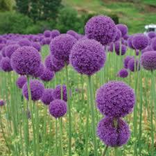 Allium giganteum (P11)