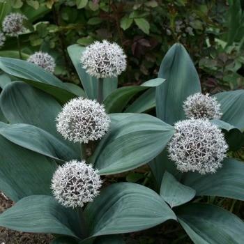 Allium karataviense (P9)