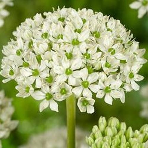 Allium nigrum (P9)