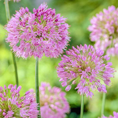 Allium nutans (P9)